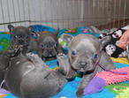 Blue French Bulldog Puppies Now Needing their forever home
