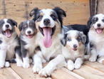 Gorgeous Fluffy Border Collie Pups