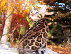 Amazing Bengal kittens available