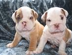 Male English bulldogs for sale