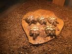 Hermanns Tortoises 5 Available
