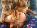 Gorgeous Kc Reg Miniature Dachshunds