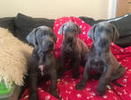 blue & black Great Dane Puppies From £700 To £800