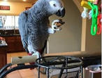 Sweet and lovely African grey parrots and parrots eggs for sale