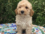 APRICOT/CREAM POODLE GIRL
