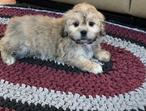 Cute health 3boys & 4 girls pure Lhasa Apso puppies