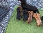 Simier, Mini dachshund puppies READY NOW
