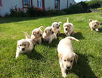 Stunning Golden Retriever Pups