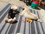 Beautiful Black And Fawn Kc Reg Pugs Puppies For Sale
