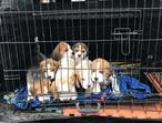 Kennel Club 3th Generation Beagles puppies males and females ready to meet new homes