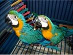 12 month old Blue and Gold Macaw Parrots For sale