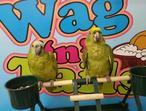 Hand Reared Amazon Parrots