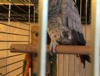 African grey parrot tame n talking inc cage n toys