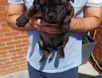 "Black/blue""top Quality"" ""solid Staffordshire bull terrier puppies!!!"