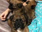 Puppys 7wks