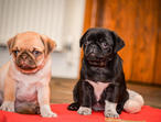 KC Pug Puppies - Chocolate, tan & pied carriers