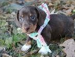 Kc Registered Dachshund Pups For Sale!