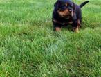 Beautiful litter of full pedigree Rottweiler puppies.