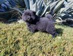 Hono-bom miniature top qty chow chow pups aval for new homes
