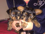 Litter of KC Registered Yorkshire Terriers Puppies For Sale