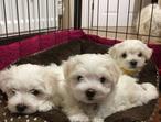 3 Beautiful Maltese Puppies