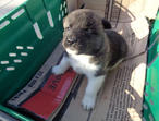 Beautiful Akita Puppies!!