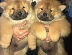Chow Chow Puppies Kc Registered