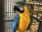 I have a coupled, paired and bonded Blue & Gold macaws (male and Female), beautiful, very friendly, and playful. Very interactive. They both speak, bu