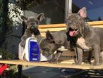 Hahaha cute french bulldog puppies needs to be relocated
