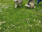 Last 2 Boys 1 Girls Kc Alaskan Malamute Puppies!!
