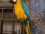 Pair Blue And Gold Macaws parrots