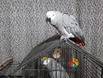Pair of African grey parrot