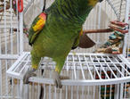 Hand tamed Amazon Parrot