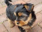 Gorgeous litter of 5 Yorkshire Terriers / Biewer Terriers