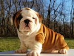 **british Bulldog Pups**