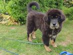 For sale Tibetan Mastiff puppies only girls