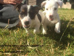 Beautiful Jack Russell Pups With Docked Tails