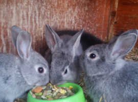 Beautiful baby rabbits ready in a week