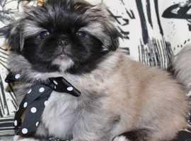 Available Pekingese Puppies