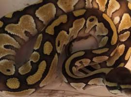various royal python babies read description