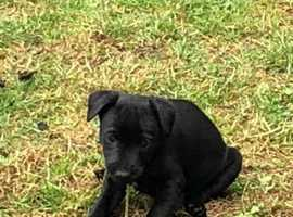 Patterdale dog pup