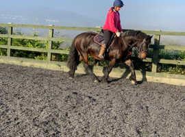 Loving 13.2 bay cob mare