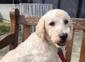 REHOME - Snowy 3 year old Cockerpoo female looking for forever home