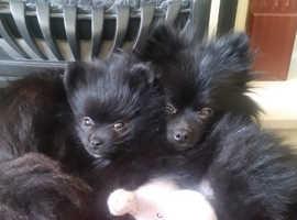 5* Pomeranian Puppies Available