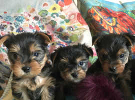 6 beautiful yorkshire terrier puppies