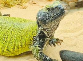 Beautiful Uromastyx / Uro / Lizard - Male (Bearded Dragon)