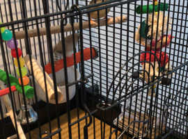 Two Zebra Finches with cage and accessories