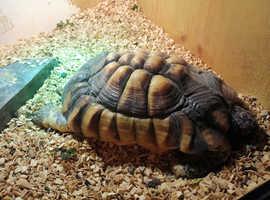12yr old Marginated Tortoise