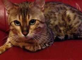 Ex Bengal kitten