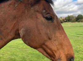 Bonnie TB mare for sale